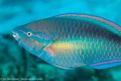 BD-101208-Cozumel-2868-Scarus-taeniopterus.-Lesson.-1829-[Princess-parrotfish].jpg